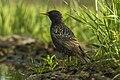 Common Starling - Hungary IMG 2783 (22180202733).jpg