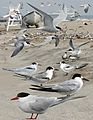 Common Tern From The Crossley ID Guide Eastern Birds.jpg