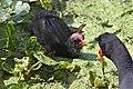 Common gallinule (Gallinula galeata) feeding chick.jpg
