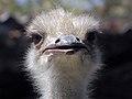 Common ostrich, iran شترمرغ در ایران 09.jpg