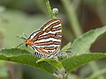 Common silverline IMG 4316.jpg