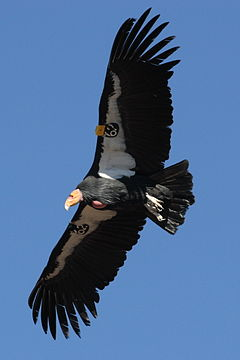 Condor in flight.JPG