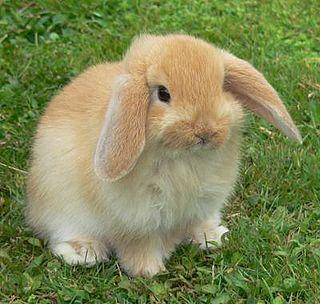 American Fuzzy Lop rabbit breed