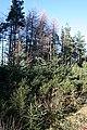 Conifers - geograph.org.uk - 343344.jpg