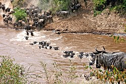 Connochaetes taurinus -Wildebeest crossing river -East Africa.jpg