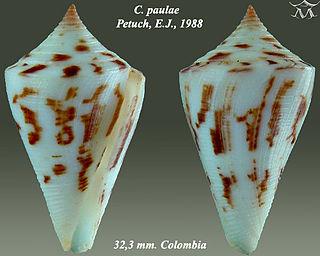 <i>Conus paulae</i> species of mollusc