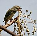 Coppersmith Barbet (Megalaima haemacephala)- Immature eyeing Lannea coromandelica fruits W IMG 7834.jpg