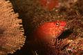 Coral hawkfish (2063386479).jpg