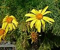 Coreopsis gigantea 3.jpg