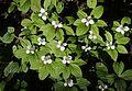 Cornus canadensis (Mount Cho).JPG