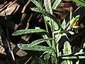 Coronidium rutidolepis (40583264940).jpg