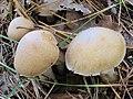 Cortinarius caperatus (Pers.) Fr 473942.jpg