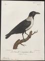Corvus scapulatus - 1796-1808 - Print - Iconographia Zoologica - Special Collections University of Amsterdam - UBA01 IZ15700251.tif