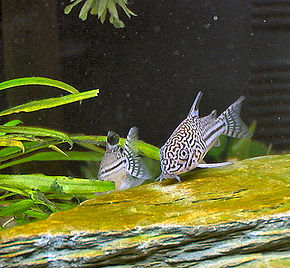 Description de l'image  Corydoras_trilineatus_(2).JPG.