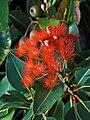 Corymbia ficifolia Flowers.jpg