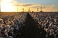 Cotton field kv19.jpg