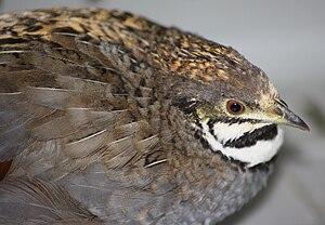 King quail - Captive king quail