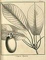 Coupoui aquatica Aublet 1775 pl 377.jpg