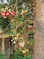 Couroupita guianensis - Cannon Ball Tree at Peravoor (34).jpg