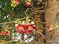 Couroupita guianensis - Cannon Ball Tree at Peravoor (44).jpg