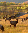 A sunlit field has six antlerless elk standing in it, with several more resting on the ground