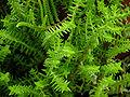 Crassula arborescens 'Large Jade' & Crassula muscosa 3264px.jpg