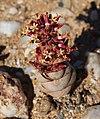 Crassula columnaris.jpg