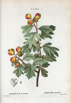Crataegus azarolus - Botanical illustration from Duhamel du Monceau, H.L. 1768. Traité des arbres fruitiers