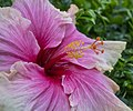 Cream-Pink Hibiscus amongst Snap Dragons-2 (29414525551).jpg