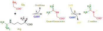 Edited creatine synthesis picture with fixed term