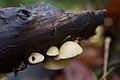 Crepidotus mollis 29029022.jpg