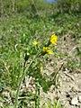 Crepis praemorsa sl32.jpg