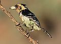 Crested Barbet, Trachyphonus vaillantii, at Walter Sisulu National Botanical Garden, Gauteng, South Africa (29525664155).jpg