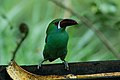 Crimson-rumped Toucanet 2015-06-07 (1) (39419932025).jpg