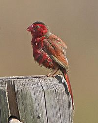 Crimson Finch (Neochmia phaeton) - Flickr - Lip Kee (1).jpg