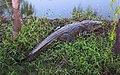 Crocodylus moreletii Balacan2020p1.jpg