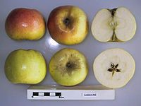 Cross section of Barraude, National Fruit Collection (acc. 1947-161).jpg