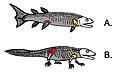 Crossopterygii tetrapod hips.JPG