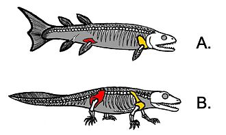 Evolution of fish - Illustration showing shows how much the hindlimb attachments in lobe-finned fishes need to change in transitioning from lobe-finned fishes (A) to early tetrapods (B) if the fish was to become a terrestrial animal.