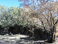 Croton gratissimus - Botswana Bot Gardens 3.jpg