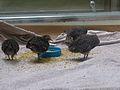 Crypturellus tataupa - Parc des oiseaux 05.JPG