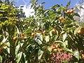 Cultivation of kaki in Hanase, Kyoto.jpg