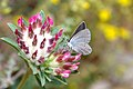 Cupido minimus (2557252569).jpg