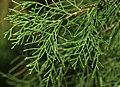 Cupressus torulosa (Himalayan Cypress) (30927025650).jpg