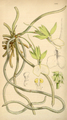 Curtis's Botanical Magazine, Plate 4295 (Volume 73, 1847).png
