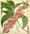 Curtis's Botanical Magazine, Plate 4303 (Volume 73, 1847).jpg