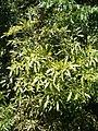Cussonia spicata KirstenboshBotGard09292010E.JPG
