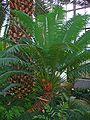 Cycas circinalis 001.JPG