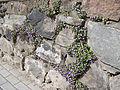 Cymbalaria-muralis-2035.jpg