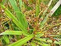 Cyperus textilis seedhead.jpg